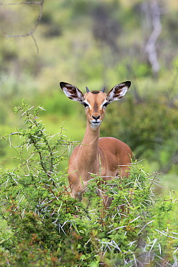 Young male impala (Aepyceros melampus) behind acacia bush, Pilanesberg game reserve, North West province, South Africa, February  -  Ann & Steve Toon/ npl