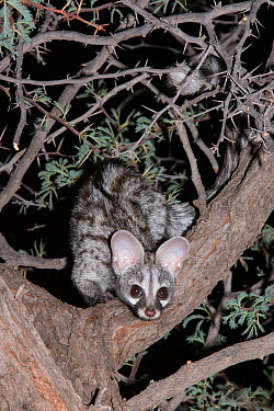 Small spotted genet (Genetta genetta) looking down from an acacia tree at night, Kgalagadi Transfrontier Park, South Africa, January  -  Ann & Steve Toon/ npl