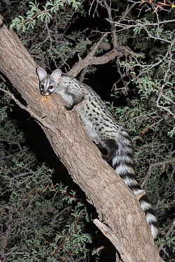 Small spotted genet (Genetta genetta) in an acacia tree, Kgalagadi Transfrontier Park, South Africa, January  -  Ann & Steve Toon/ npl