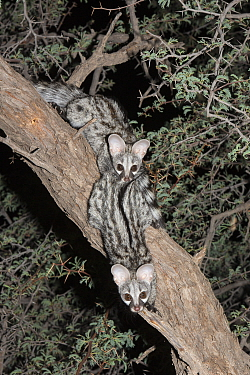 Two small spotted genets (Genetta genetta) in an acacia tree, Kgalagadi Transfrontier Park, South Africa, January 2014  -  Ann & Steve Toon/ npl
