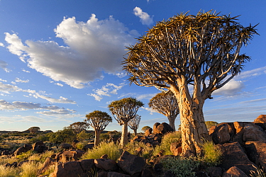 Quiver trees below a cloudy summer sky Quiver Tree Forest, Keetmanshoop, Namibia March 212 Non-ex  -  Hougaard Malan/ npl