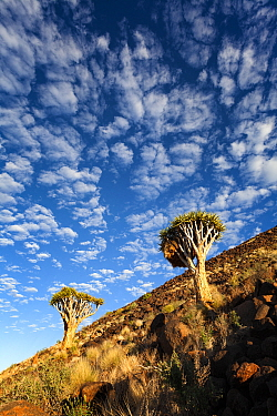 Quiver trees on the side of a rocky mountain Namib Rand, Namibia March 2012 Non-ex  -  Hougaard Malan/ npl
