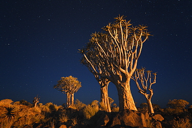 Quiver trees below early night sky Quiver Tree Forest, Keetmanshoop, Namibia February 2012 Non-ex  -  Hougaard Malan/ npl