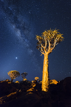 Quiver trees below night sky Quiver Tree Forest, Keetmanshoop, Namibia February 2012 Non-ex  -  Hougaard Malan/ npl