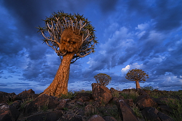 Quiver trees against blue twilight sky Quiver Tree Forest, Keetmanshoop, Namibia March 2012 Non-ex  -  Hougaard Malan/ npl