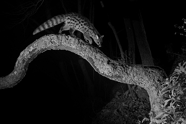 Common genet (Genetta genetta) on branch, taken at night with infra-red remote camera trap, France, January  -  Eric Medard/ npl