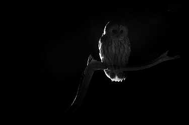 Tawny owl (Strix aluco) taken at night with infra-red remote camera trap, Mayenne, France, September  -  Eric Medard/ npl