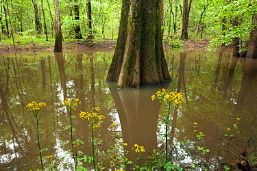 Butterweed (Senecio glabellus) plant along the River Trail in Congaree National Park, South Carolina, USA  -  Kirkendall-spring/ npl