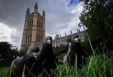 Feral pigeons (Columba livia) outside the Houses of Parliament in Westminster London, UK July Runner up in 2013 Terre Sauvage Natures Images awards, Urban category  -  Sam Hobson/ npl
