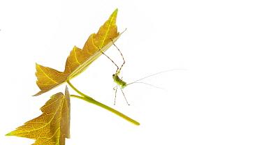 Angle-wing katydid (Microcentrum sp) nymph, Anacostia watershed, Washington DC, USA, May Meetyourneighboursnet project  -  MYN/ Krista Schlyer/ npl