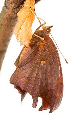 Question mark butterfly (Polygonia interrogationis) emerging, Anacostia watershed, Washington DC, USA, September Sequence 9 of 11 Meetyourneighboursnet project  -  MYN/ Krista Schlyer/ npl