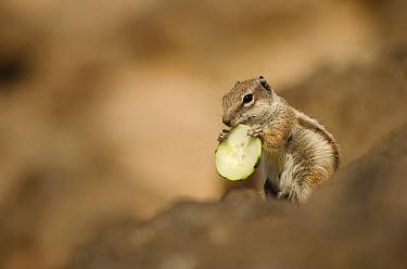 Barbary ground squirrel (Atlantoxerus getulus) with slice of cucumber Fuerteventura, Canary Islands, Spain April  -  Sam Hobson/ npl