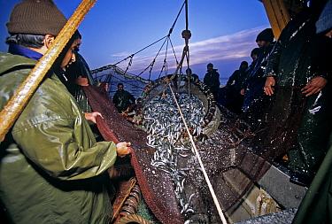 Purse seine fishing boat hauling in net full of Sardines (Sardina sp) Agadir, Morocco, Atlantic Ocean  -  Jeff Rotman/ npl