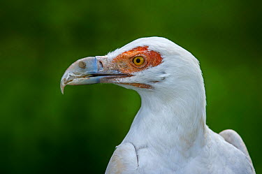 Palm-nut vulture (Gypohierax angolensis) close up of head Captive, occurs in sub-Saharan Africa  -  Philippe Clement/ npl