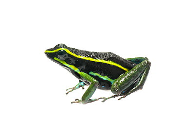 Three striped poison frog (Ameerega trivittata), Kanuku Mountains, Guyana, July Meetyourneighboursnet project  -  MYN/ Andrew Snyder/ npl