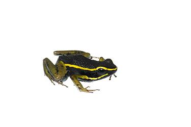 Three striped poison frog (Ameerega trivittatus), Berbice River, Guyana, September Meetyourneighboursnet project  -  MYN/ Andrew Snyder/ npl