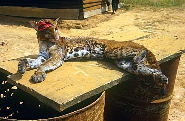 Golden cat (Caracal aurata) bush meat for sale, Myumba, southern Gabon, 2008  -  Steve O. Taylor/ npl