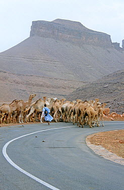 Man herding camels on the road to market in Atar, Mauritania, 2005  -  Steve O. Taylor/ npl