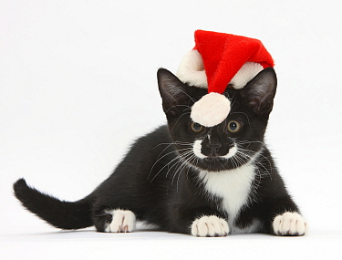 Black and white tuxedo kitten, age 11 weeks, watching the bobble at the end of the Father Christmas hat it's wearing  -  Mark Taylor/ npl