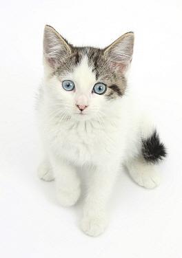 Blue eyed tabby and white Siberian cross kitten, age 13 weeks  -  Mark Taylor/ npl