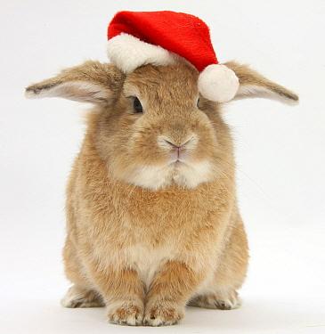 Lop eared rabbit wearing a Santa hat  -  Mark Taylor/ npl