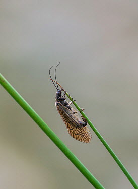Alder fly (Sialis lutaria) laying eggs on reed above pond surface Surrey, England, April  -  Adrian Davies/ npl