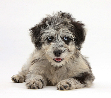 Blue merle Collie and Poodle 'Cadoodle' puppy  -  Mark Taylor/ npl
