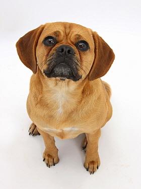Beagle x Pug 'Puggle' bitch, age 1 year, looking up  -  Mark Taylor/ npl