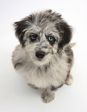 Blue merle Collie x Poodle 'Cadoodle' puppy looking up  -  Mark Taylor/ npl
