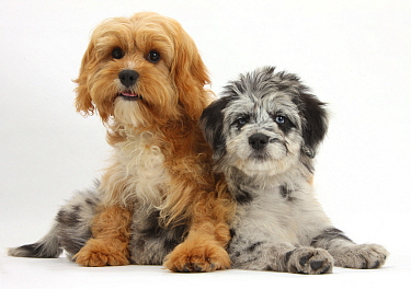 Blue merle Collie and Poodle 'Cadoodle' and Cavalier King Charles Spaniel x Poodle 'Cavapoo' puppies  -  Mark Taylor/ npl