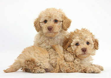 Two toy Labrador x Poodle 'Labradoodle' puppies  -  Mark Taylor/ npl