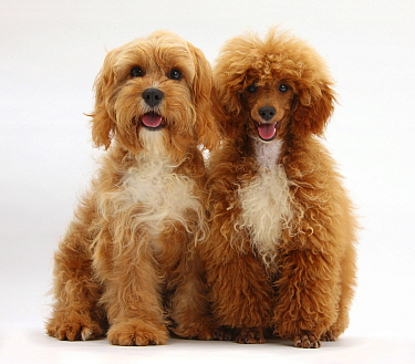 Cavalier King Charles Spaniel x Poodle 'Cavapoo' and red toy Poodle  -  Mark Taylor/ npl