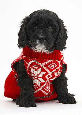Cute black Cavapoo puppy, age 6 weeks, wearing hand knitted Christmas jumper  -  Mark Taylor/ npl