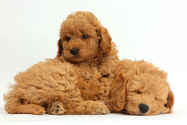Golden retriever x Poodle (F1b) 'Goldendoodle' puppies, resting  -  Mark Taylor/ npl