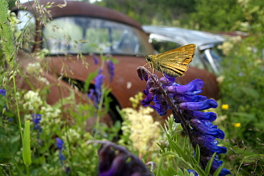 Skipper butterfly (Hesperiidae) in front of old rusting car in Bastnas car graveyard, Sweden, June  -  Pal Hermansen/ npl