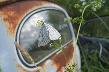 Butterfly (Lycaenidae) in front of old rusting car in Bastnas car graveyard, Sweden, June  -  Pal Hermansen/ npl