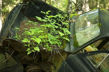Old car with plants growing on it, Bastnas car graveyard, Varmland, Sweden, July  -  Pal Hermansen/ npl