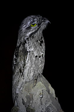 Great Potoo (Nyctibius grandis) perched on a fencepost at night, Mato Grosso, Pantanal, Brazil July  -  Ben Cranke/ npl
