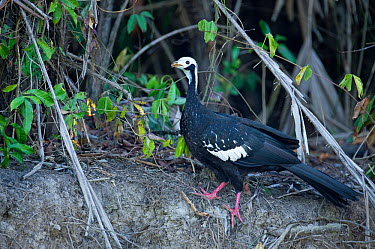 Blue-throated Piping Guan (Pipile pipile) foraging on a river bank, Mato Grosso, Pantanal, Brazil Critically endangered species  -  Ben Cranke/ npl
