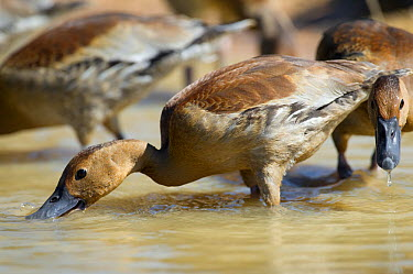 Fulvous Whistling Duck (Dendrocygna bicolor) feeding in shallow waters, Mato Grosso, Pantanal, Brazil July  -  Ben Cranke/ npl