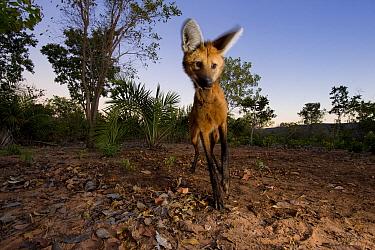 Maned wolf (Chrysocyon brachyurus) foraging at dusk, Mato Grosso, Pantanal, Brazil July  -  Ben Cranke/ npl