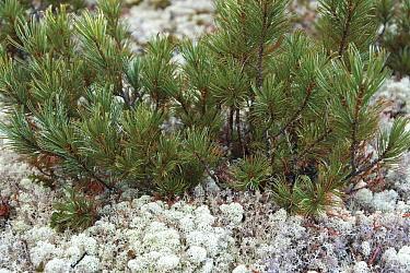 Siberian dwarf pine (Pinus pumila) Zabaikalsky National Park, Barguzin prezerv, Lake Baikal, Siberia, Russia, September 2013  -  Olga Kamenskaya/ npl