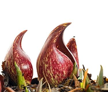 Skunk Cabbage (Symplocarpus foetidus) Southern Appalachians, North Carolina, United States, February Meetyourneighboursnet project  -  MYN/ Clay Bolt/ NPL