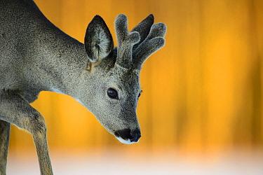 Roe deer (Capreolus capreolus) buck, Vesneri, Estonia, March Winner of the Animal stories portfolio in the Melvita Nature Images Awards competition 2014  -  Sven Zacek/ npl