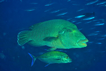 Napoleonfish (Cheilinus undulatus) with Bluefin trevally, jack (Caranx melampygus) The Bluefin jack feeding on smaller fish which are too small to be prey for the Napoleonfish Maldives Indian Ocean  -  Pascal Kobeh/ npl