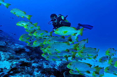 Oriental sweetlips (Plectorhinchus orientalis) with a diver, Mayotte Indian Ocean February 2010  -  Pascal Kobeh/ npl