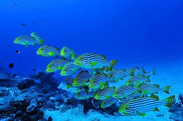 Oriental sweetlips (Plectorhinchus orientalis) Mayotte Indian Ocean  -  Pascal Kobeh/ npl