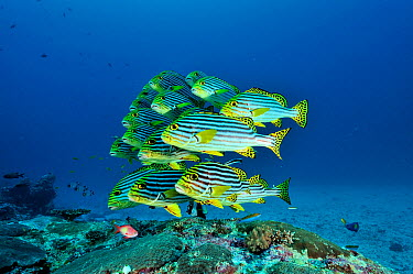 School of Oriental sweetlips (Plectorhinchus orientalis) at a cleaning station, Maldives Indian Ocean  -  Pascal Kobeh/ npl