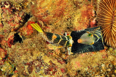 Saddled toby, pufferfish (Canthigaster valentini) looking to its reflection in small river which it sees as a rival Philippines Sulu Sea  -  Pascal Kobeh/ npl