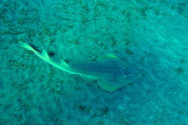 Halavi guitarfish (Rhinobatos halavi) on sea floor, Egypt Red Sea  -  Pascal Kobeh/ npl